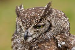 Primer de un buho de águila manchado Foto de archivo libre de regalías