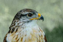 Primer de un Butea Regalis - halcón ferruginoso Fotos de archivo libres de regalías