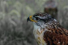 Primer de un Butea Regalis - halcón ferruginoso Foto de archivo libre de regalías
