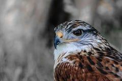 Primer de un Butea Regalis - halcón ferruginoso Imagenes de archivo