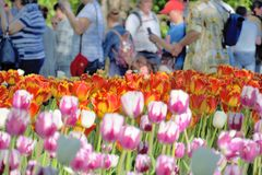 Primer de un césped con los tulipanes brillantes y la gente rojos y rosas claros que los miran y que tiran de detrás imágenes de archivo libres de regalías
