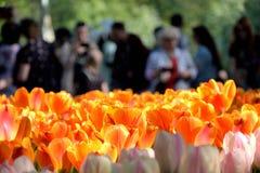 Primer de un c?sped con los tulipanes brillantes y la gente rojos y rosas claros que los miran y que tiran de detr?s fotos de archivo