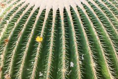 Primer de un cactus de barril grande en un jardín botánico Imagen de archivo libre de regalías