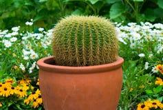 Primer de un cactus en un pote Foto de archivo