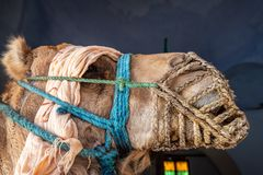 Primer de un camello Foto de archivo