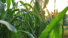 Primer de un campo de la granja del maíz con la llamarada almacen de metraje de vídeo