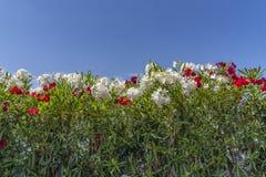 Primer de un campo de flores rojas y blancas, con follaje verde claro, contra un contexto de un cielo azul claro Imagen de archivo libre de regalías