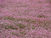 Primer de un campo rosado del alforfón Fotografía de archivo libre de regalías