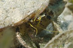 Primer de un cangrejo de ermitaño Blanco-acechado. Foto de archivo libre de regalías