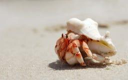 Primer de un cangrejo de ermitaño con el shell en una playa imagen de archivo libre de regalías