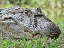 Primer de un cocodrilo Fotografía de archivo libre de regalías