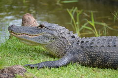 Primer de un cocodrilo en hierba cerca de un pantano imagen de archivo