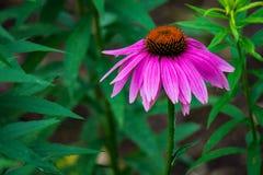 Primer de un Coneflower púrpura foto de archivo