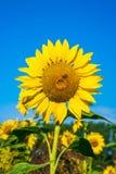 Primer de un crecimiento principal del girasol en el campo contra s azul Foto de archivo libre de regalías