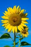Primer de un crecimiento principal del girasol en el campo contra s azul Fotos de archivo