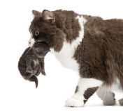 Primer de un de pelo largo británico llevando un gatito viejo de una semana Fotografía de archivo