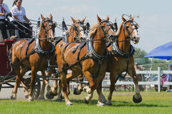 Primer de un equipo del tirón de caballo cuatro Imagenes de archivo