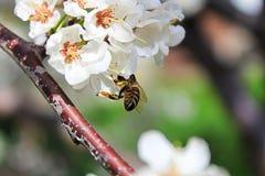 Primer de un extremo de la abeja cubierto en polen Foto de archivo