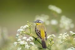 Primer de un flava amarillo occidental masculino del Motacilla del pájaro del aguzanieves Foto de archivo libre de regalías