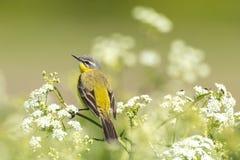 Primer de un flava amarillo occidental masculino del Motacilla del pájaro del aguzanieves Imagen de archivo libre de regalías