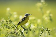 Primer de un flava amarillo occidental masculino del Motacilla del pájaro del aguzanieves Fotografía de archivo libre de regalías
