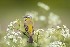 Primer de un flava amarillo occidental masculino del Motacilla del pájaro del aguzanieves Fotos de archivo