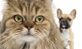 Primer de un gato y de un perro que ocultan detrás, aislado Fotografía de archivo