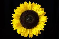 Primer de un girasol amarillo aislado en un fondo negro Imagen de archivo libre de regalías