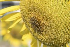 Primer de un girasol brillante y de abejas en el jardín Fotografía de archivo