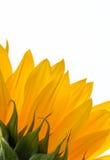 Primer de un girasol colorido Imagen de archivo libre de regalías