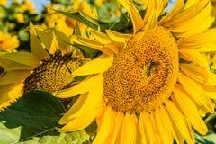 Primer de un girasol de polinización de la abeja Fotos de archivo