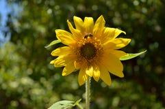 Primer de un girasol hermoso con una abeja que recoge el polen, fondo, macro Fotografía de archivo libre de regalías