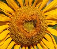 Primer de un girasol radiante Fotos de archivo libres de regalías