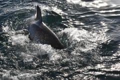 Primer de un gran tiburón blanco en el salto de la jaula en la bahía de Mossel, Suráfrica Fotografía de archivo
