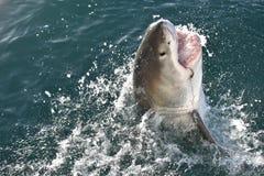 Primer de un gran tiburón blanco en el salto de la jaula en la bahía de Mossel, Suráfrica Imágenes de archivo libres de regalías