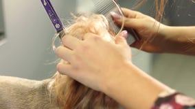 Primer de un groomer femenino que peina un terrier de Yorkshire con el peine metrajes