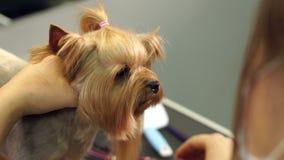 Primer de un groomer femenino que peina un terrier de Yorkshire con el peine almacen de video
