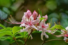 """Primer de un grupo prinophyllum del rododendro del †temprano de Azalea Flowers """" Imagen de archivo libre de regalías"""