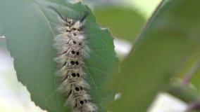 Primer de un guttata del vishnou de Trabala de la larva en una hoja verde de un árbol forestal almacen de metraje de vídeo