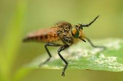 Primer de un insecto con los ojos grandes Imagen de archivo