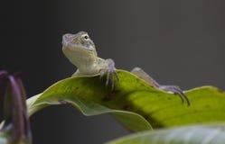 Primer de un lagarto del jardín fotos de archivo libres de regalías