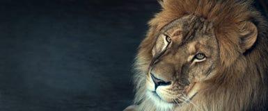 Primer de un león africano foto de archivo libre de regalías
