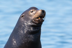 Primer de un león marino de California imagen de archivo