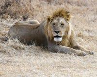 Primer de un león que miente en la tierra en el cráter de Ngorongoro Imagen de archivo libre de regalías