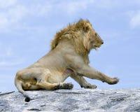 Primer de un león que se sienta en la roca gris que mira adelante con lesión de la sangre derramada detrás de la pierna delantera Fotografía de archivo