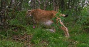 Primer de un lince europeo que camina en el bosque en el verano almacen de metraje de vídeo