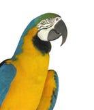 Primer de un loro del macaw aislado Imágenes de archivo libres de regalías