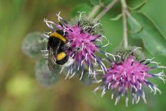 Primer de un lucorum caucásico del abejorro en una floración púrpura de t Imagenes de archivo