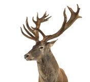 Primer de un macho de los ciervos comunes fotografía de archivo