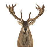 Primer de un macho de los ciervos comunes foto de archivo libre de regalías